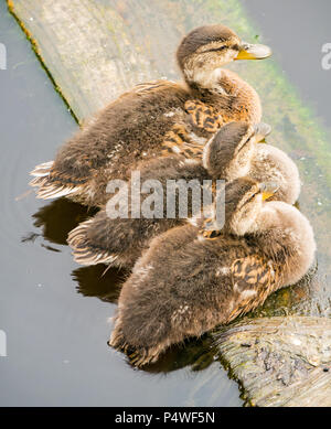 Close up of trio of Mallard ducklings, Anas platyrynchos, resting on wooden plank in river, Water of Leith, Edinburgh. Scotland, UK - Stock Photo