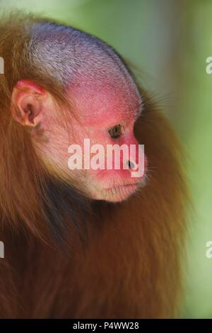 White bald-headed uakari (Cacajao calvus). Amazon basin. Iquitos. Loreto. Peru. - Stock Photo