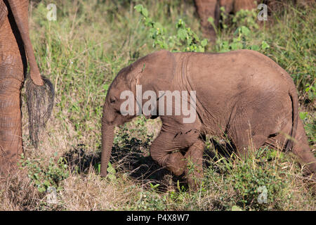 Baby African elephant Loxodonta africana following close behind its mother in the African bush - Stock Photo