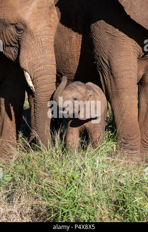 Baby African elephant Loxodonta africana surrounded by the protection of adult elephants - Stock Photo