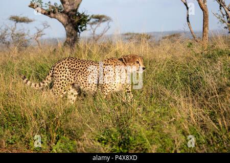 Cheetah Acinonyx jubatus walking stealthily through long grass in the Africa bush - Stock Photo