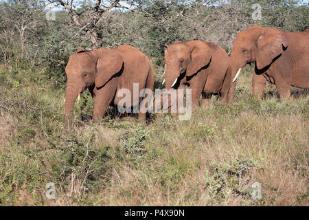 Small herd of African elephants Loxodonta africana with a baby elephant walking in the group - Stock Photo