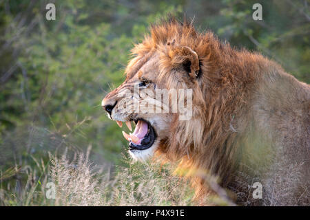 Close up headshot in profile of male lion Panthera leo snarling and baring teeth - Stock Photo