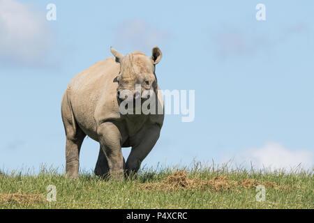 A Black Rhino at Folly Farm, Pembrokeshire, West Wales, UK. - Stock Photo