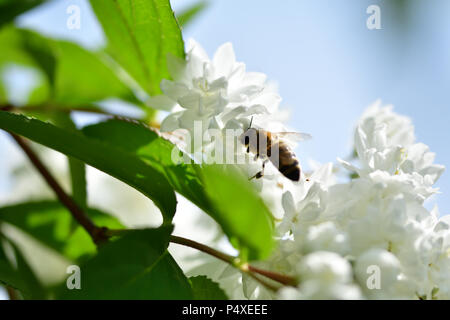 Honey Bee polinating on the white flower macro - Stock Photo