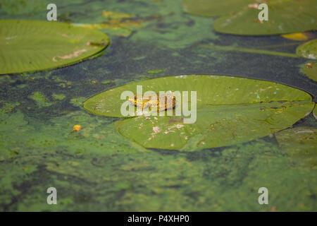 Europe common Pelophylax ridibundus, marsh frog sitting on green leaf - Stock Photo