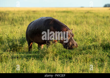 Hippopotamus (Hippopotamus amphibious) grazing on grass in Serengeti National Park, Tanzania - Stock Photo