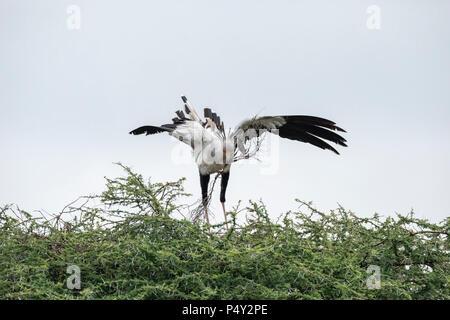 Secretarybird (Sagittarius serpentarius) gathering branches to build a nest in Serengeti National Park, Tanzania - Stock Photo