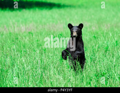 Horizontal shot of a North American Black Bear standing in a green field looking toward the camera. - Stock Photo