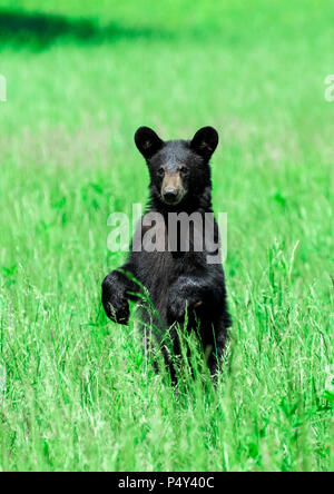 Vertical shot of a North American Black Bear standing in a green field looking toward the camera. - Stock Photo