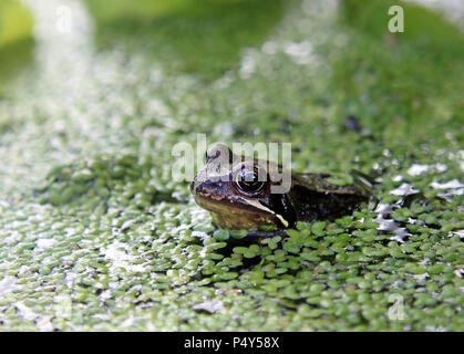 Common Frog in a pond surrounded by duckweed - Stock Photo