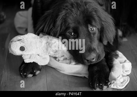 Black & White image of sad dog cuddling ragged toy - Stock Photo