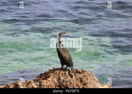 European shag, or common shag  (Phalacrocorax aristotelis) a species of cormorant, Javea, Costa Blanca, Alicante, Spain. - Stock Photo