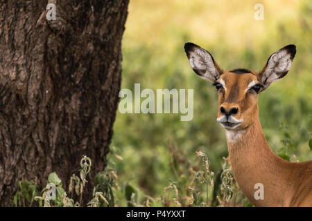 Impala (Aepyceros melampus) female portrait in Tarangire National Park, Tanzania - Stock Photo
