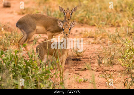 Kirk's Dik-Dik (Madoqua kirkii) on the savannah in Tarangire National Park, Tanzania - Stock Photo