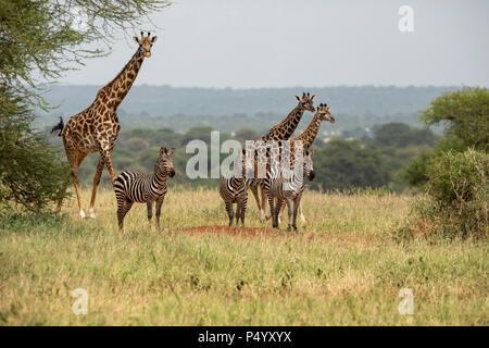Masai Giraffe (Giraffa camelopardalis tippelskirchi) and Common Zebra (Equus burchellii) approaching a waterhole in Tarangire National Park, Tanzania - Stock Photo
