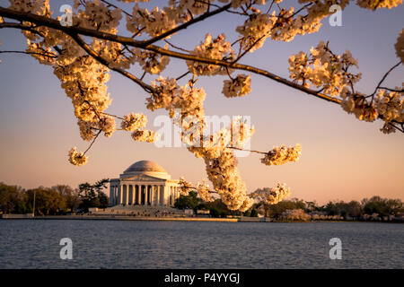 The Jefferson Memorial framed by blooming cherry blossoms during the Cherry Blossom Festival in Washington, DC - Stock Photo
