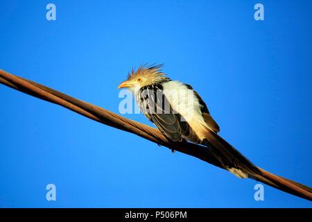 Guira Cuckoo (Guira guira) on Wire, against Blue Sky. Porto Jofre, Pantanal - Stock Photo