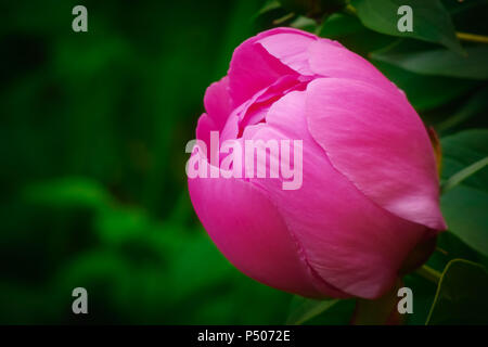 Pink peony flower head on green natural background with lots of copy space on the left side. - Stock Photo