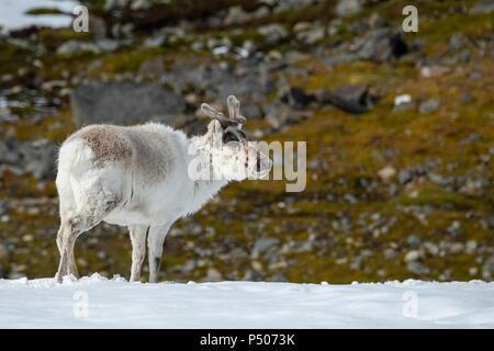 Norway, Svalbard, Spitsbergen, Isbjornhamna. Svalbard reindeer (Rangifer tarandus platyrhynchus) - Stock Photo