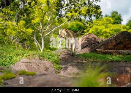 Kilimanjaro Safaris is a safari attraction at Disney's Animal Kingdom on the Walt Disney World Resort property in Lake Buena Vista, Florida. - Stock Photo