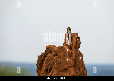 Red-and-yellow Barbet (Trachyphonus erythrocephalus) perched on a termite mound in Tarangire National Park, Tanzania - Stock Photo