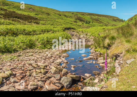 North Pennines AONB Landscape, a solitary foxglove Digitalis purpurea growing by the side of Great Eggleshope Beck - Stock Photo