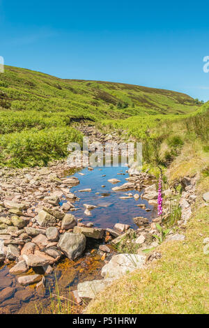 North Pennines AONB Landscape, a solitary foxglove Digitalis purpurea growing by the side of Great Eggleshope Beck with copy space - Stock Photo