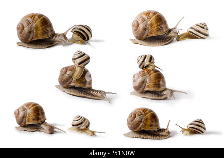 Burgundy snail, and small Snail, Helix pomatia, edible mollusk. Snails isolated on white Background. - Stock Photo