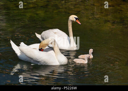 a pair of mute swans with two cygnets - Stock Photo