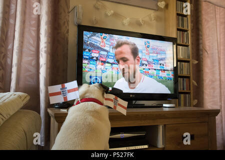 Pug dog watching  Harry Kane the England football captain on televesion during the 2018 World Cup - Stock Photo