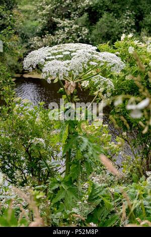 Giant Hogweed. Plant. - Stock Photo