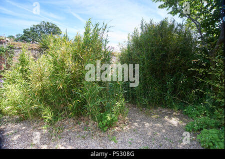 Bamboo (Phyllostachys propinqua) Growing in large clumps in an English garden during the summer. UK, GB. - Stock Photo