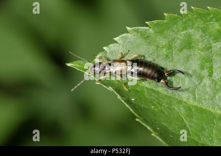Common earwig, Forficula auricularia (male)on a leaf - Stock Photo