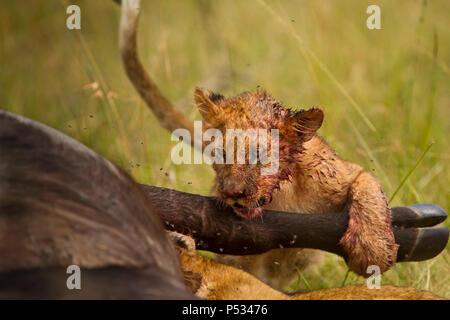 Lion Cub feeding on buffalo carcass - Stock Photo