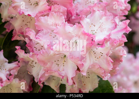 Close up of beautiful pink Rhododendron in flower - Stock Photo