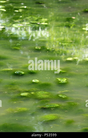 eutrophication in village pond Histon Cambridgeshire - Stock Photo