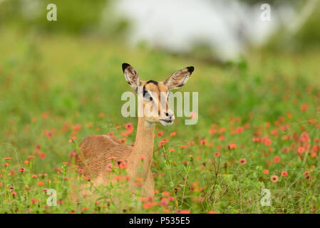 impala grazing among the red floweers - Stock Photo