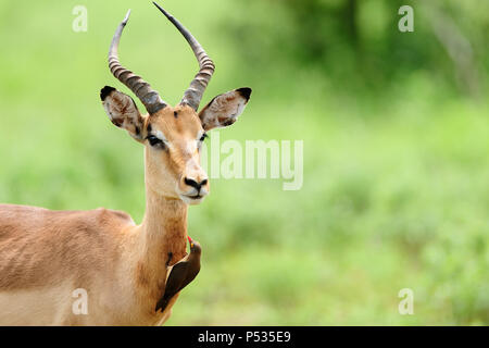 impala and oxpecker - Stock Photo