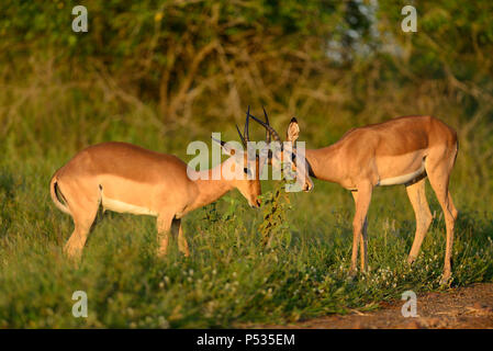 Two male impalas fighting in Kruger - Stock Photo