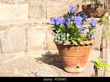 Blooming pansies in a clay pot on stone steps - Stock Photo