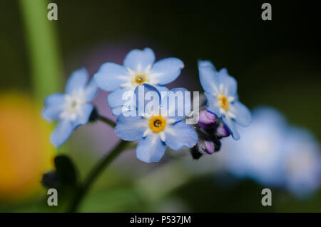 Wood Forget-me-not, blue wild flower. - Stock Photo