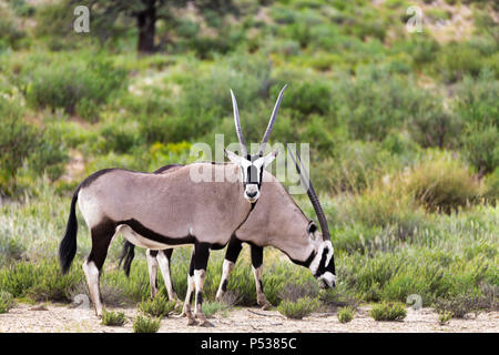 Gemsbok, Oryx gazella in Kalahari, green desert after rain season. Kgalagadi Transfrontier Park, South Africa wildlife safari - Stock Photo