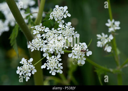 Cow parsley, Anthriscus sylvestris, flower umbel - Stock Photo