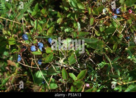 Wild blueberries, Washington County, Maine. Photograph - Stock Photo
