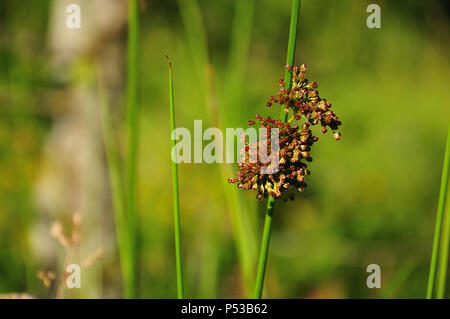 close-up of brown inflorescence of juncus conglomeratus, the compact rush, growing in wetland - Stock Photo