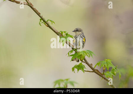 A yellow-rumped warbler perched on a leafing out sweetgum limb. - Stock Photo