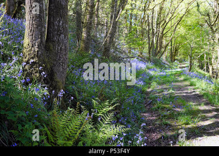 View of bluebells growing in a woodland on a slope by a rural track in the woods in spring Wales UK  KATHY DEWITT
