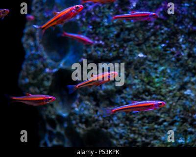 Blurred background. Many small fish Ornatus in a dark aquarium - Stock Photo