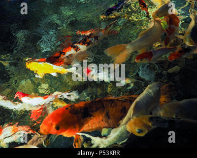 Blurred image of colorful carp fish in the pond, Soft colorful water , fish and blur background - Stock Photo